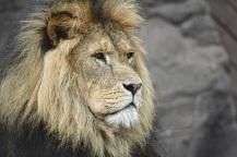 alys-lion